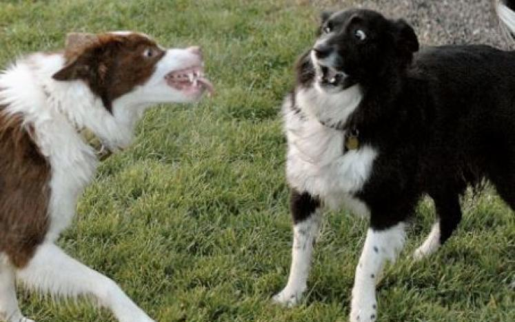 two border collies snarling at each other